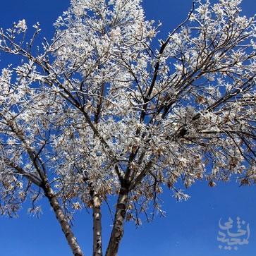 یخ زدن درختان در اردبیل و نمای بسیار زیبا