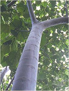 سبکترین درخت