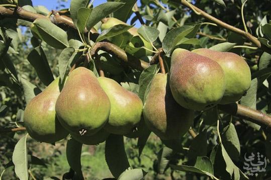 درخت گلابی