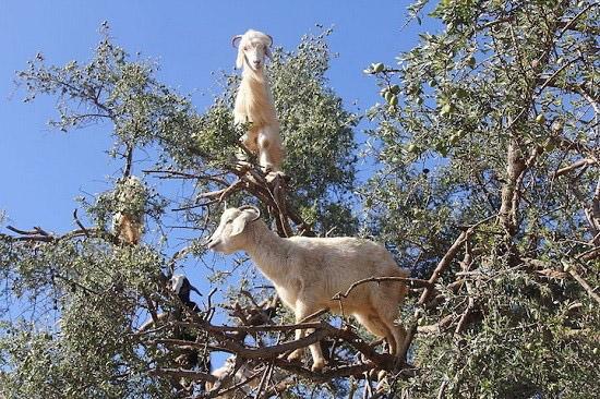 تصاویر باورنکردنی بزهای درختی در مراکش