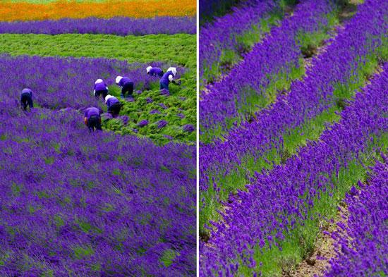 زیبایی خیره کننده برداشت مزرعه اسطوخودوس