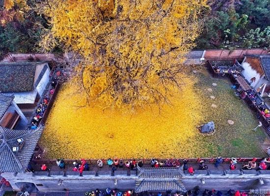 ریزش برگ های زرد درخت 1400 ساله چینی