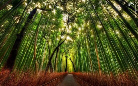 جنگل زیبای بامبو در ژاپن