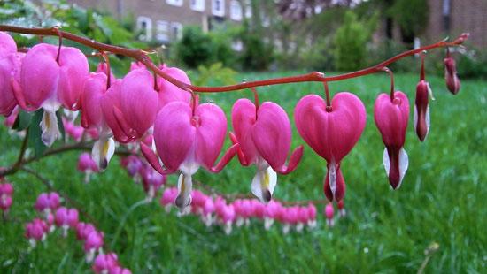 گل قلب خونین