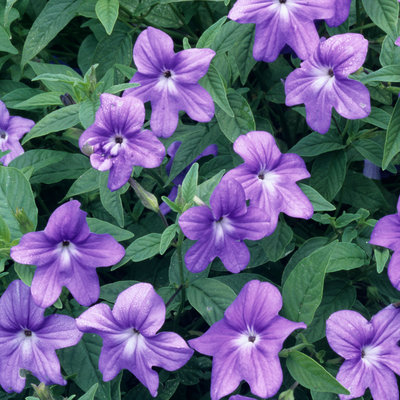 گلهایی رنگانگ با قابلیت رشد در سایه