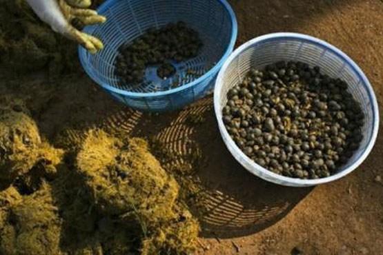 تصاویر تهیه گرانترین قهوه دنیا از مدفوع فیل!