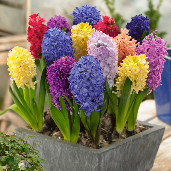 کاشت و نگهداری از گل سنبل