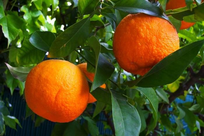 زبان خوراكی ها: اسم من نارنج است