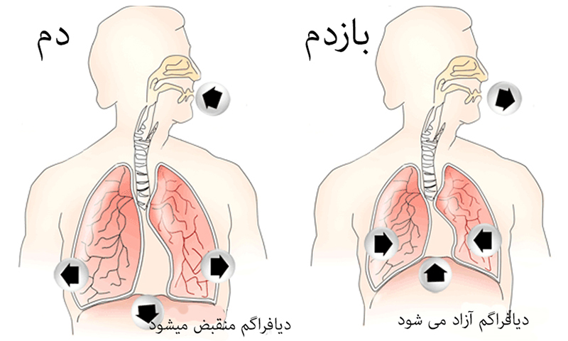 تنفس شکمی